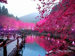 Japan-Cherry-Blossom-Lake-Sakura